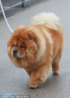 Yes I am a Chow Chow, and yes, I've heard all the food jokes!
