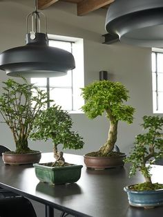 Bonsai i szczęśliwy bambus Ficus Ginseng, Natal Plum, Bonsai Styles, Indoor Trees, Miniature Trees, Bonsai Garden, Landscaping With Rocks, Plant Species, Growing Plants