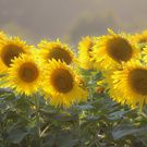 Sunflowers Collection on Society6.
