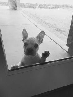 """Quiggy says ,""""hi"""" our frenchie baby!"""