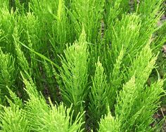 Horsetail Horesetail inhabits areas close to rivers and streams throughout North America and can grow up to a foot tall. Look for bright green leafless, tubular stems that grow to a point, and collect the entire plant. Chop and boil the plant and apply the decoction to wounds to decrease bleeding and speed healing. You can also drink horsetail tea to ease stomachaches and treat kidney problems, and the plant can even be used as a natural toothbrush in a pinch.