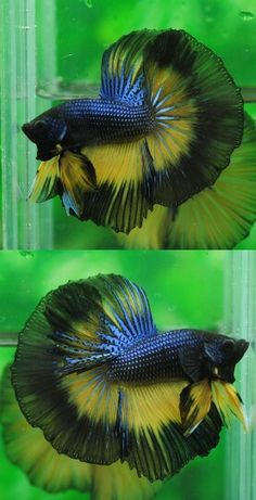 808 Blue black mustard HM male