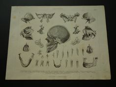 1870 antique anatomy print teeth jaw old medical by DecorativePrints