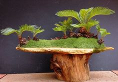 cyca bonsai - Google Search