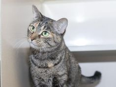 ●10•5•16 SL●TAMMI - ID#A461845 - Harris County Animal Shelter in Houston, Texas - 4 year old Spayed Female Tabby Domestic Shorthair - at the shelter since Jun 16, 2016.