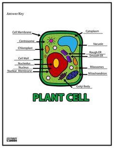 Plant Cell Worksheet - Innovative Teacher - TeachersPayTeachers.com