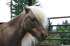 Chester is an adoptable Shetland Pony Pony in Sultan, WA. Chester is an older pony, about 10hh. This little guy is a gorgeous chocolate palomino with lots of spunk and vigor! Though he is blind he is ...