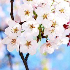추위는 잠시 잊자 #photo#view#daily#photograph#사진#풍경#일상#개멍멍#뎅구#white#꽃#flowers#color#fujifilm#후지필름#macrophotography #macros #macro_perfection#벚꽃#봄 by gaemungmung