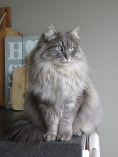Siberian cat Sophie at 20 months! Such a pretty lady!!!