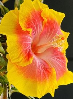 180 best Flowers   Hibiscus images on Pinterest   Hibiscus flowers     Hibiscus is a popular flowering bush in Florida  because of unbelievable  choices of colors  and numerous blooms each day  the flower only blooms for  one