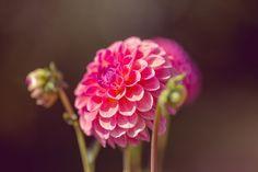 娇琴纱, 花, 开花, 盛开, 粉红色, 夏季, 春天, 厂, 宏, 关闭