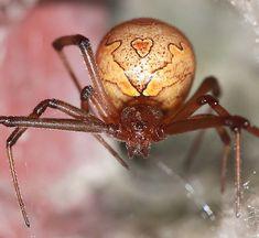 Aranha do botão marrom.