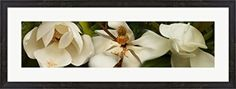 Close-up of white magnolia flowers by Panoramic Images Canvas Art Wall Picture, Museum Wrapped with Black Sides, 33 x 8 inches