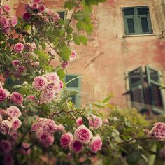 Old Garden Roses - Cinque Terre, Italy  | by Irene Suchocki.  The dream in this picture is to see that view from one of those windows.  Someday...