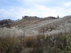 명성산 갈대밭