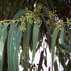 zEUCALIPTOS http://www.periodicodecrecimientopersonal.com/usos-medicinales-del-eucalipto/