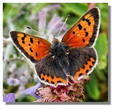 Butterflies of Scotland - Small Copper Butterfly Effect, Nature Reserve, Moth, Insects, Flora, Copper, Seen, Butterflies, Animals