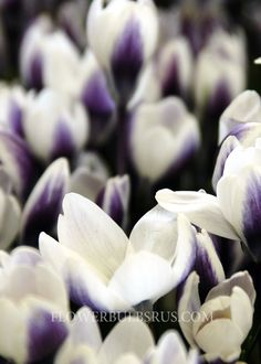 BUY Crocus Prins Claus White striped with deep purple, interior is white. Bulb Flowers, Deep Purple, Bloom, Rose, Plants, Bulbs, Lightbulbs, Pink, Bulb