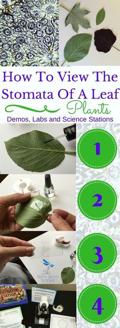 How To View The Stomata Of A Leaf? Let your students get hands on with this Lab and discover the fun of investigation. Part of Plants: Demos, Labs and Science Stations ~ 5E Inquiry by Nitty Gritty Science