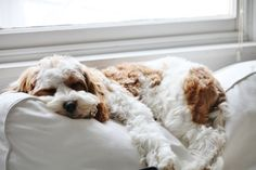 A Cavadoodle....cross between a Cavalier King Charles and a Poodle. This one is Barley from A Beach Cottage Blog.