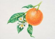 orange blossom botanical illustration - Google Search