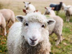 Carlisle farmer fined over sheep and cattle carcasses Funny Drawings, Animal Drawings, Funny Babies, Funny Kids, Farm Animals, Funny Animals, Les Aliens, Gado, Sheep And Lamb