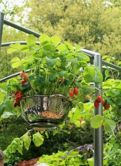 Strawberry plants, growing in metal colanders. Strawberry Planters, Strawberry Garden, Container Gardening, Gardening Tips, Townhouse Garden, Gutter Garden, Edible Garden, Hanging Planters, Growing Vegetables