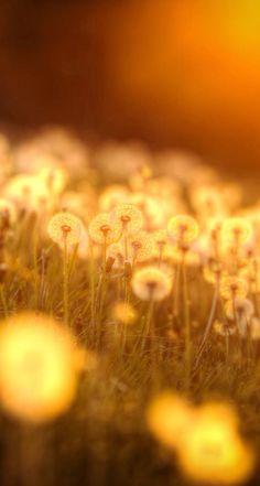 dandelions                                                                                                                                                                                 More