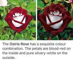 Osiria Rose...