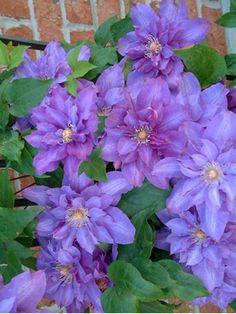 Clematis Vyvyan Pennell -- Bluestone Perennials, Inc