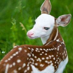 A Rare White Faced Fawn cute animals adorable animal baby animals faen Unusual Animals, Rare Animals, Cute Baby Animals, Animals And Pets, Funny Animals, Strange Animals, Colorful Animals, Wild Animals, Cutest Animals