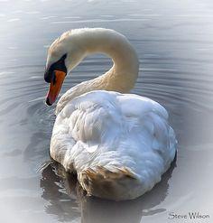 Pure elegance-Beautiful Mute Swan (Cygnus olor) on the River Dee