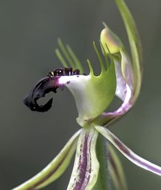 Green-comb Spider Orchid.: Caladenia dilatata