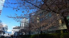 Spring in Vancouver ~ March 23, 2014 #vancouver #spring #sakura #britishcolumbia #beautifulbc