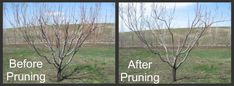 Pruning Peach Trees Before and After