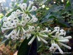 Cestrum Diurnum, Day Blooming Jasmine
