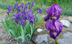 SAKSANKURJENMIEKKA  Iris germanica `Apricot Silk ` 17th Century, Finland, Iris, Dreams, Garden, Plants, Garten, Lawn And Garden, Gardens