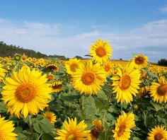 If summer has a poster flower, it's the Sunflower. These bright and cheerful blooms are natives of the Americas, growing as far north as Canada and down into South America. Some varieties can grow as large as 12 inches in diameter! #floralfactfriday #floralfact #flowerfact #floralfacts #flowerfacts #sunflower #sunflowers #clubbotanic