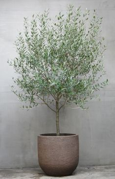 olive tree for front garden feature option Indoor Olive Tree, Potted Olive Tree, Indoor Trees, Indoor Plants, Potted Trees Patio, Dwarf Olive Tree, Trees In Pots, Outside Planters, Big Plants