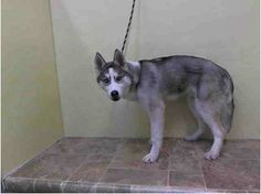 URGENT - Manhattan Center    MISHON - A0993438   I am a neutered male, silver and black Siberian Husky mix.   The shelter staff think I am about 1 year and 6 months old.   I weigh 24 pounds.   I was found in NY 10029.   I have been at the shelter since Mar 08, 2014.  https://www.facebook.com/Urgentdeathrowdogs/photos_stream