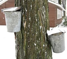 Sap starts running in Geauga County.
