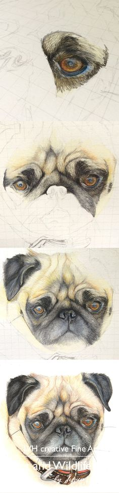 Step by Step Coloured Pencil Drawing of a Pug. Pet and wildlife drawings by JVH creative Fine Art – Jessica Hennig