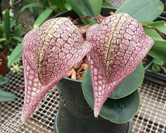 Orchid: Bulbophyllum arfakianum - From New Guinea - Flickr - Photo Sharing!