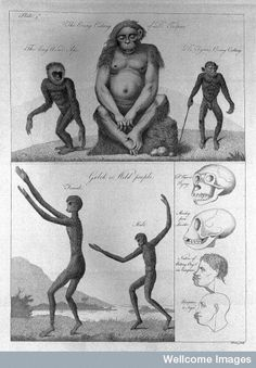 The orang outang of Dr. Tulpius & other apes