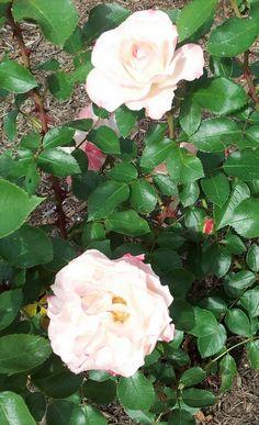 Roses - Roses - Rosas