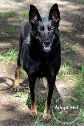 SUCCESS:  ADOPTED!!!  Sweetie is an adopted Shepherd Dog in Baton Rouge, LA. Sweetie is a beautiful black shepherd who was owner surrendered with her sister to the EBR animal shelter. Her sister was adopted, but the family...