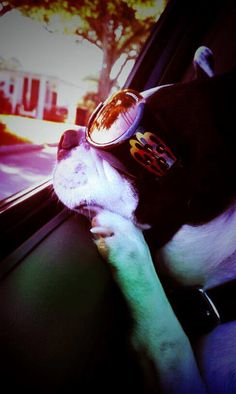 Zeus from Texas in a Car Ride with his Flaming Doggles - http://www.bterrier.com/zeus-from-texas-in-a-car-ride-with-his-flaming-doggles/ https://www.facebook.com/bterrierdogs