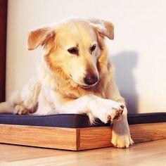 Samson and his new Play bed. Thanks @pupenhagen #dog #dogbed #furniture #wood #oak #labrador #retriever #labradorsofinstagram #pies #hund #chien #cane #design #moderndog #dogstreet #dogfashion #interior #home #pet #petaccessories #pets #dogshop #handmade #animallovers #doglover #yellowlab #insradog #dogofinstagram