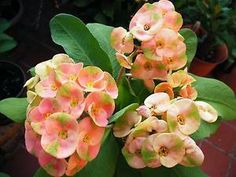 Tips for Planting and Growing Crown of Thorns