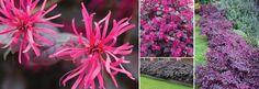 Plants Management Australia Pty Ltd loropetalum plum gorgeous